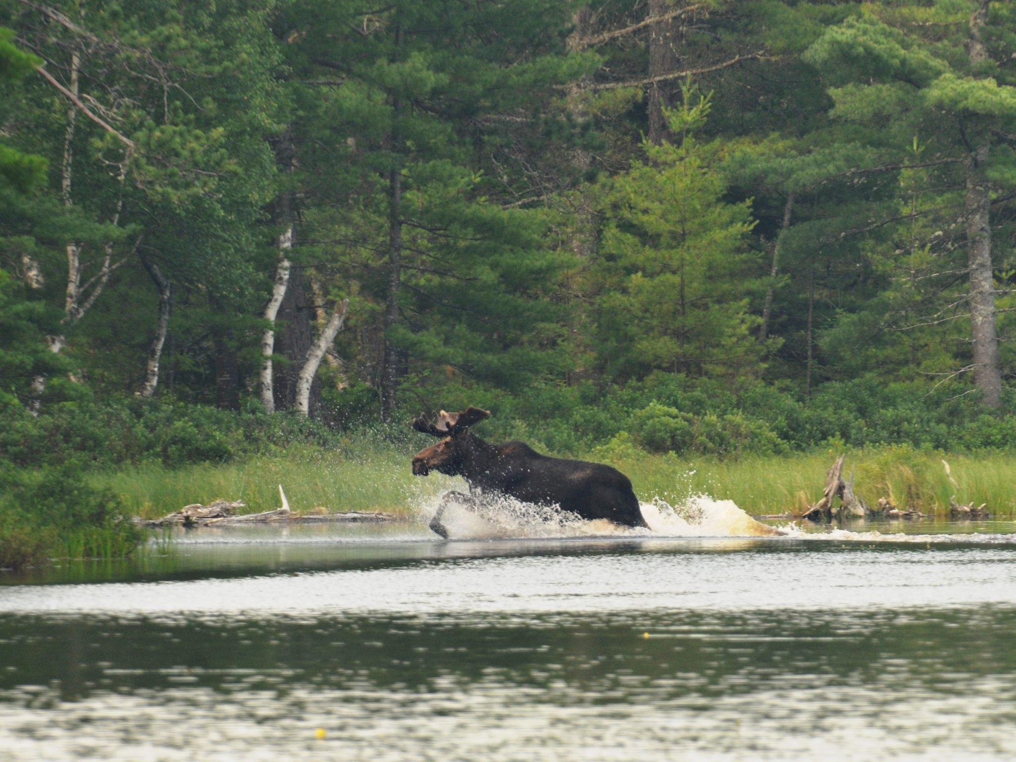 moose3by4